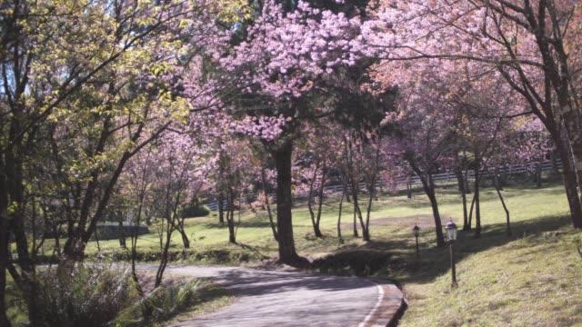vídeos de stock e filmes b-roll de cherry blossom in japan - prunus taihaku