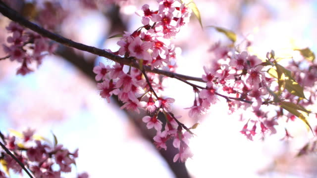 cherry blossom in japan - great white cherry stock videos & royalty-free footage