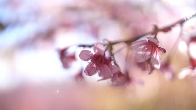 Kersenbloesem in Japan
