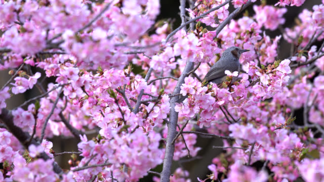 cherry blossom in japan - hamamatsu stock videos and b-roll footage