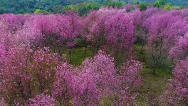 cherry blossom in phu lom lo - national landmark stock videos & royalty-free footage