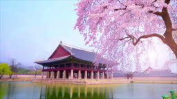 cherry blossom in spring of Gyeongbokgung Palace in seoul,korea.