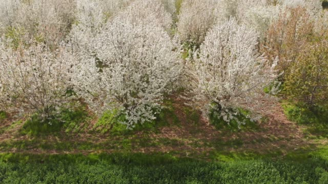 cherry blossom in the spring - almond tree stock videos & royalty-free footage