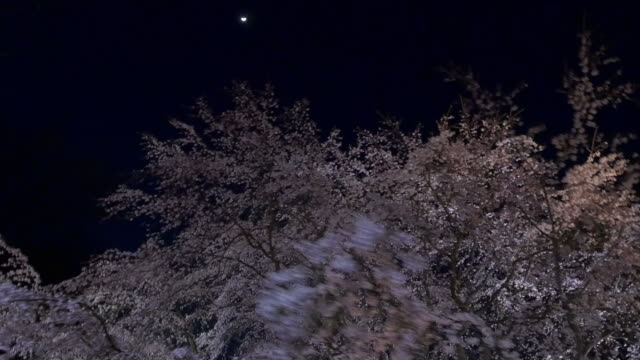 cherry blossom light up walking motion shot  from rikugiengardens - kanto region stock videos and b-roll footage