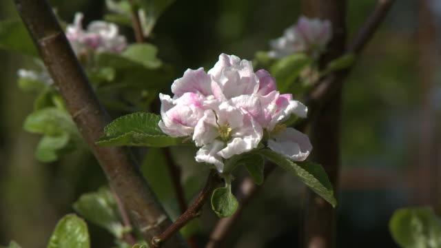 cherry blossom on branch - zweig stock-videos und b-roll-filmmaterial