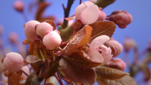 vídeos de stock e filmes b-roll de cherry blossom opening - pastel