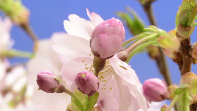 cherry blossom opening - blumen stock-videos und b-roll-filmmaterial