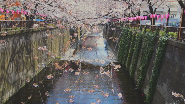 Cherry blossom or Sakura at Meguro Canal in Tokyo, Japan