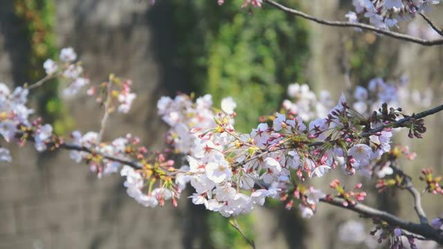 桜や東京都目黒運河の桜 - 花びら点の映像素材/bロール
