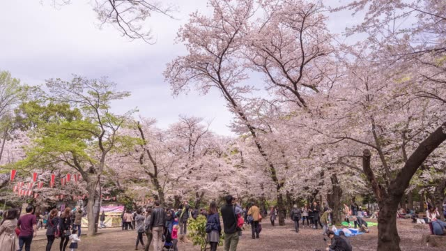cherry blossom parties - picnic stock videos & royalty-free footage