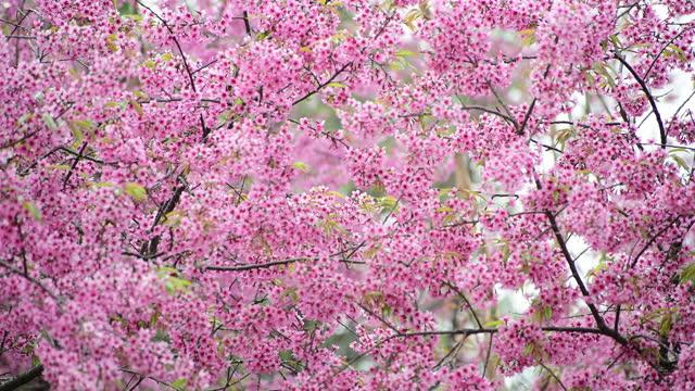 körsbärsblom mönster - årstid bildbanksvideor och videomaterial från bakom kulisserna