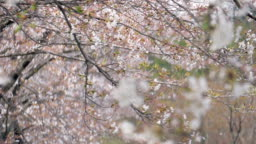 Cherry blossom petal falling by the wind slow motion