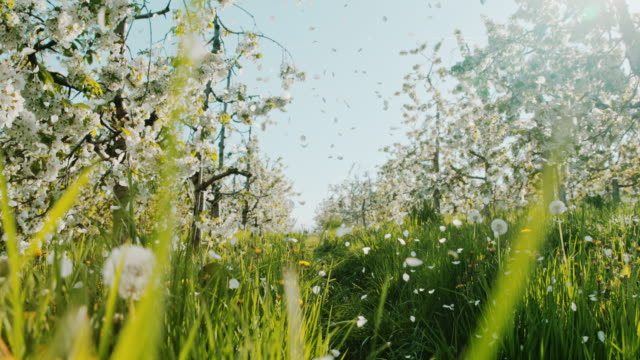 slo-mo-cherry blossom blütenblätter fallen von bäumen - obstgarten stock-videos und b-roll-filmmaterial