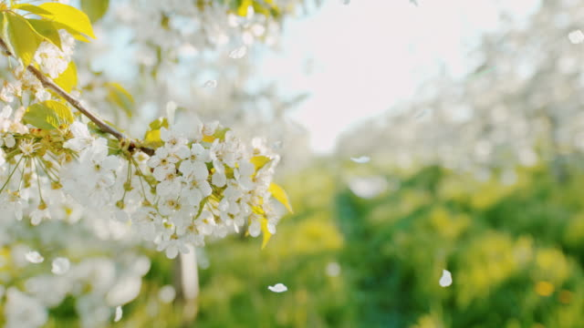 slo mo cherry blossom petals falling off trees - flower stock videos & royalty-free footage
