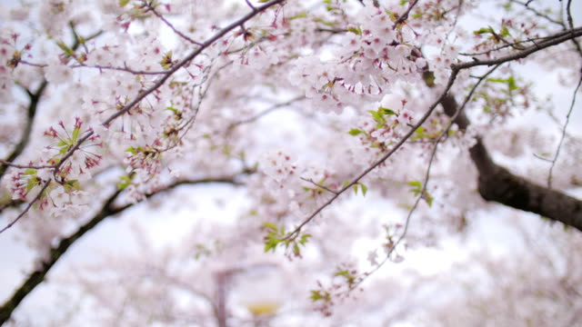 cherry blossom petals falling springtime in tokyo japan , slow motion - cherry blossom stock videos & royalty-free footage