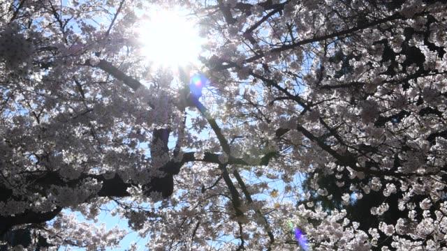 cherry blossom petals - university of washington stock videos & royalty-free footage