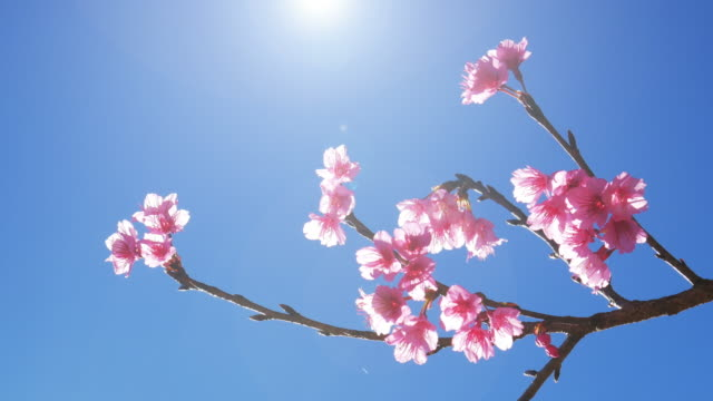 Cherry blossom Pink flower close-up and blue sky , 4k(UHD)