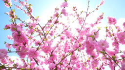 Cherry blossom Sakura pink flower blooming against blue sky a during spring