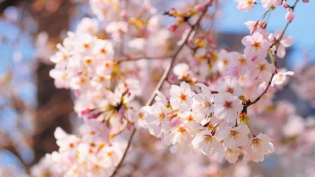 vídeos de stock, filmes e b-roll de sakura flor de cerejeira, - flor de cerejeira