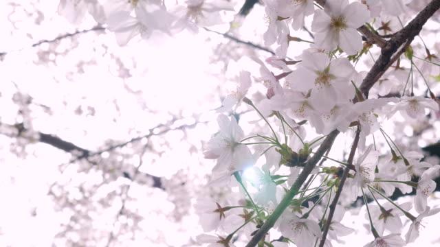 Cherry Blossom ,Sakura