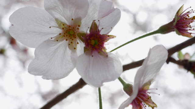 桜、サクラ - 太白桜点の映像素材/bロール