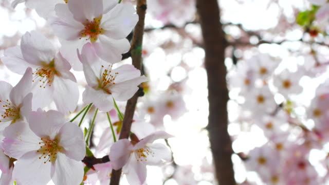 vídeos de stock e filmes b-roll de cherry blossom ,sakura - prunus taihaku