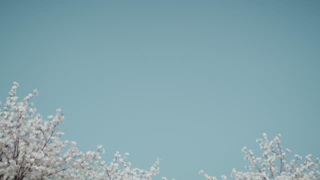 cherry blossom scenery / south korea - light blue stock videos & royalty-free footage