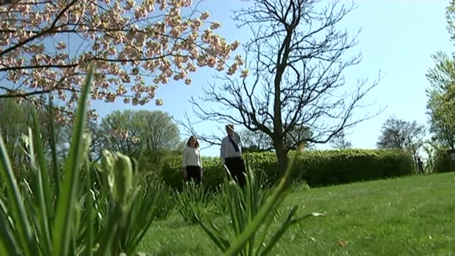 cherry blossom season; england: surrey: wisley: rhs garden, wisley: ext cherry blossom on tree branches against blue sky at rhs wisley cherry blossom... - royal horticultural society stock-videos und b-roll-filmmaterial