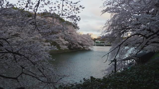 東京の桜の花の季節