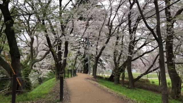 vídeos de stock, filmes e b-roll de cherry blossom sightseeing in japan 4k - árvore de folha caduca