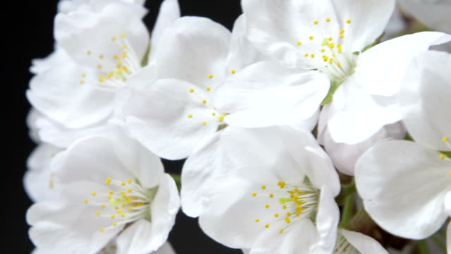 cherry blossom spring nature