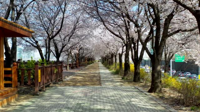 cherry blossom trail beside anyangcheon stream / seoul, south korea - treelined stock videos & royalty-free footage