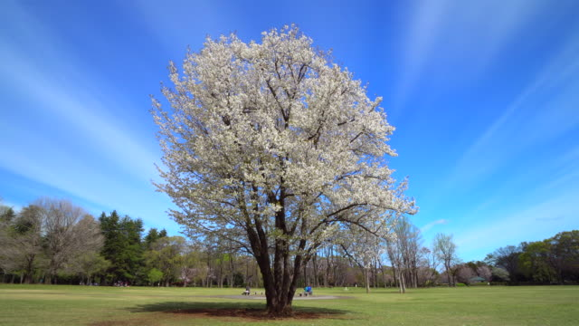 cherry blossom tree at park - affectionate stock videos & royalty-free footage