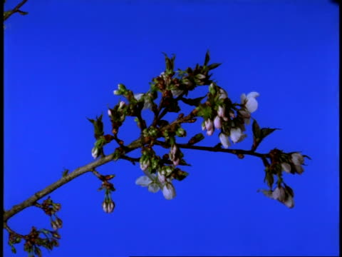 t/l cherry blossom - ms tree branch with pink buds open to many white flowers - 枝点の映像素材/bロール