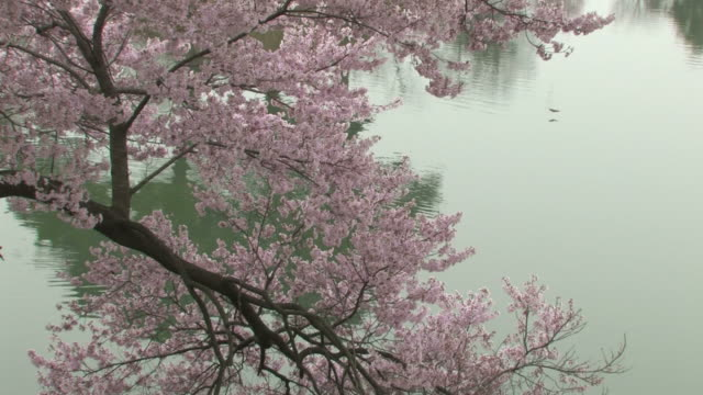 cherry blossom tree by lake - 福岡県点の映像素材/bロール