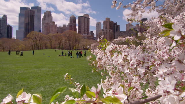 Cherry Blossom Tree in Central Park with People Playing in the Background