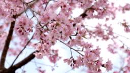 Cherry blossom (Sakura) tree in springtime