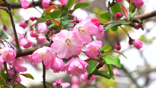 Cherry blossom tree in Tokyo, Japan