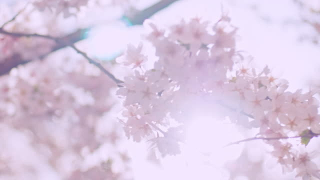 cherry blossom tree with blue sky on a sunny spring day - blossom stock videos & royalty-free footage