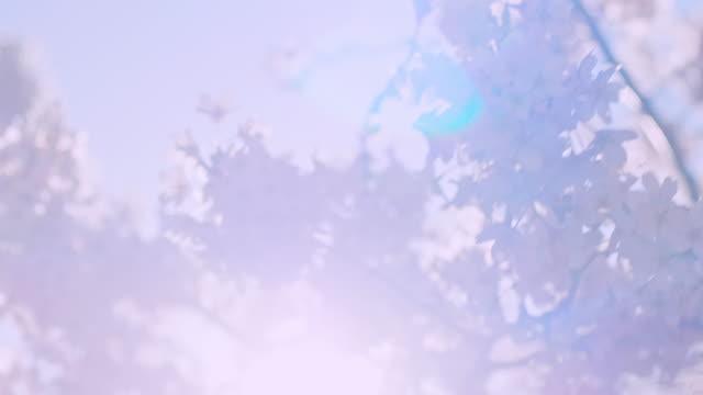 stockvideo's en b-roll-footage met de bloesemboom van de kers met blauwe hemel op een zonnige de lentedag - sunny