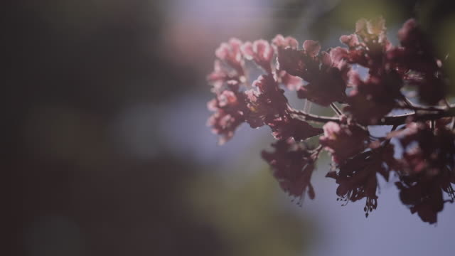 cherry blossom tree with blue sky stock video - springtime stock videos & royalty-free footage