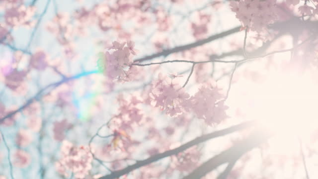 cherry blossom tree with blue sky - blossom stock videos & royalty-free footage