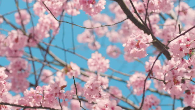 cherry blossom tree with blue sky - in bloom stock videos & royalty-free footage