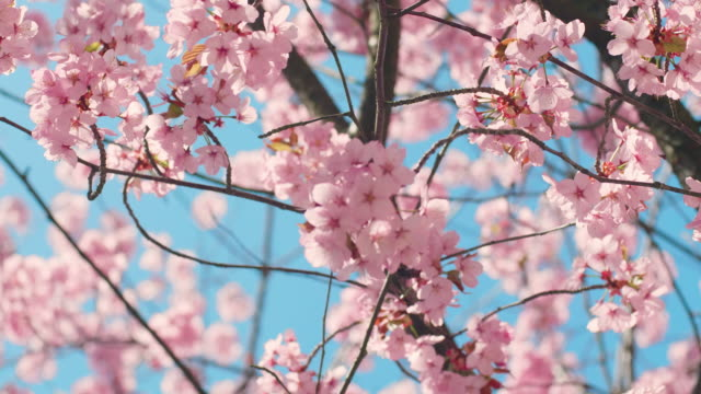 cherry blossom tree with blue sky - springtime stock videos & royalty-free footage