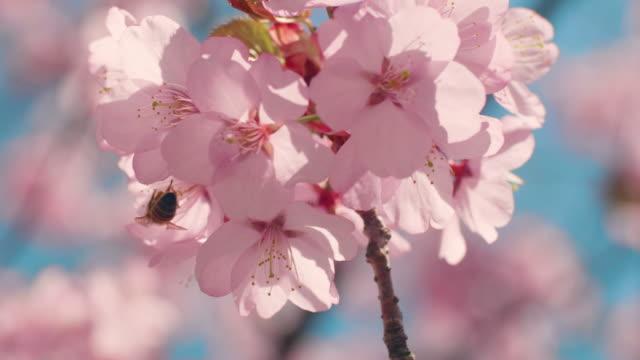 cherry blossom tree with blue sky - blossom stock videos & royalty-free footage