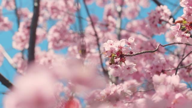 青空と桜の木 - 桜の花点の映像素材/bロール