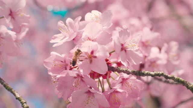 vídeos y material grabado en eventos de stock de árbol de flor de cerezo con cielo azul - rosa flor