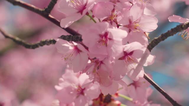 vídeos de stock e filmes b-roll de cherry blossom tree with blue sky - flor de cerejeira
