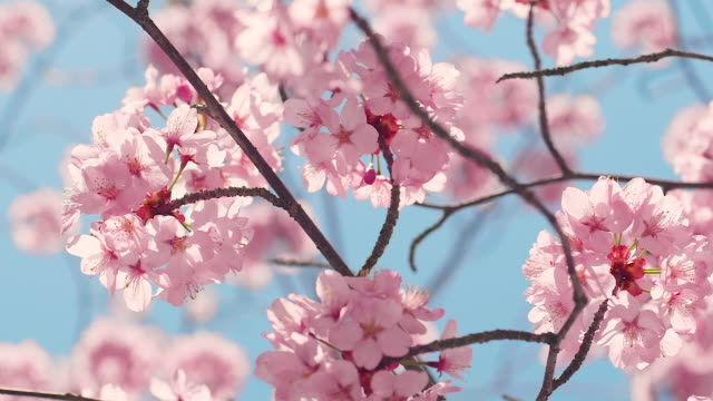 cherry blossom tree with blue sky - petal stock videos & royalty-free footage