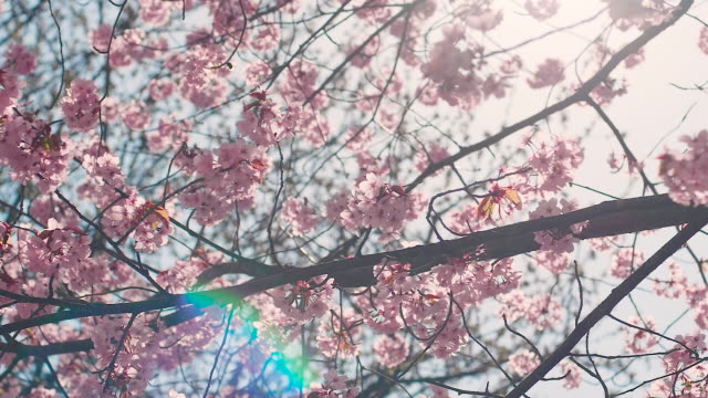 cherry blossom tree with blue sky - pink colour stock videos & royalty-free footage